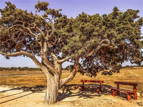 Cape greco tree