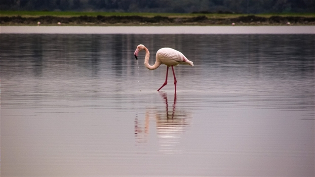 A single flamingo feeding