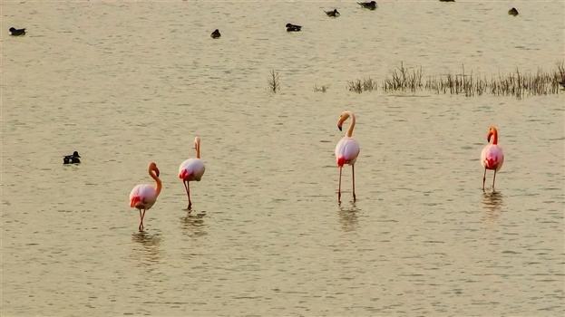 Wading flamingos in Akrotiri Salt Lake