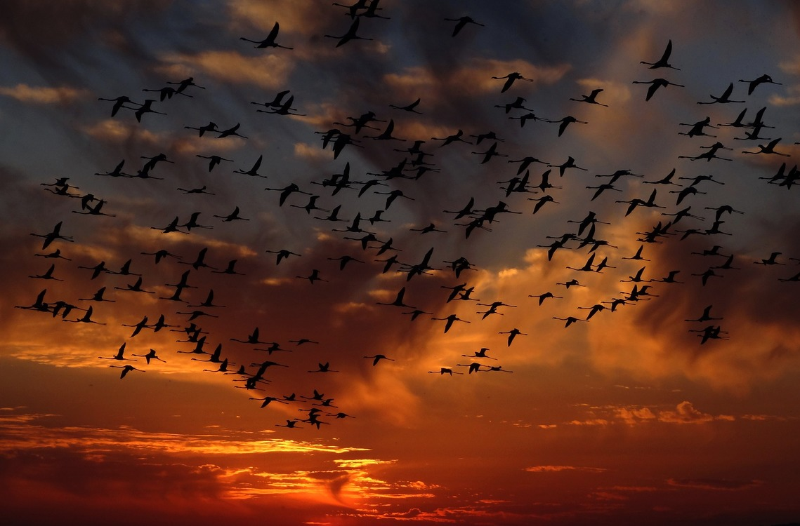 A flock of flamingos flying in sunset