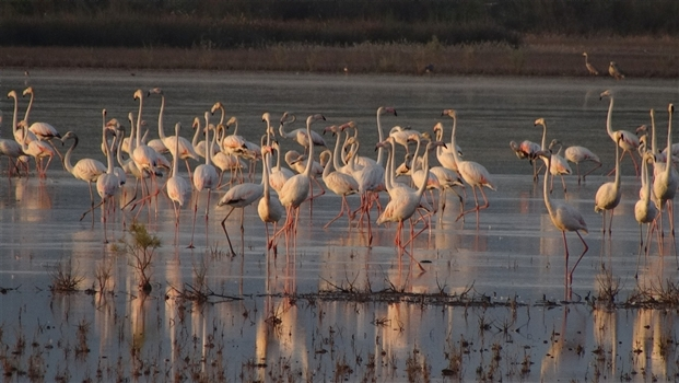 A flock of wading flamingos