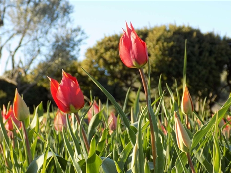 Flowers of Cyprus - Red tulips