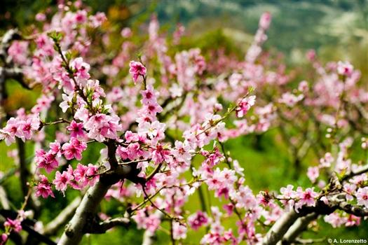 Flowers of Cyprus - Pink flowers