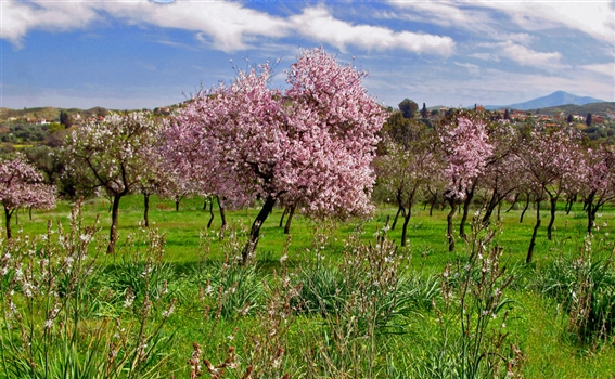 Flowers of Cyprus - Almond blossom