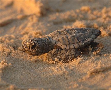 Akamas baby turtle just born
