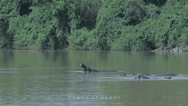 Ghana at Heart - Hippos