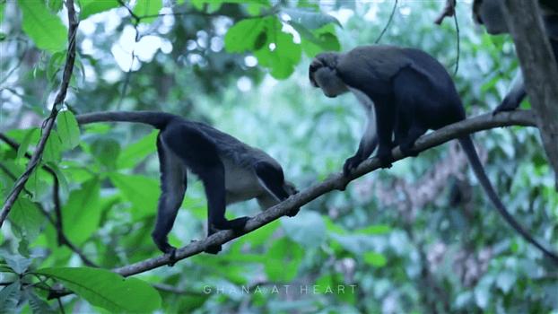 Ghana at Heart - Monkeys
