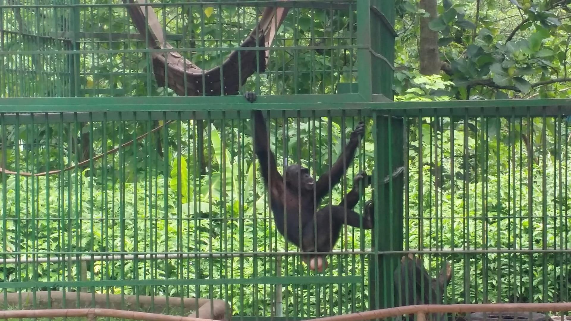 Male Chimp at Kumasi Zoo